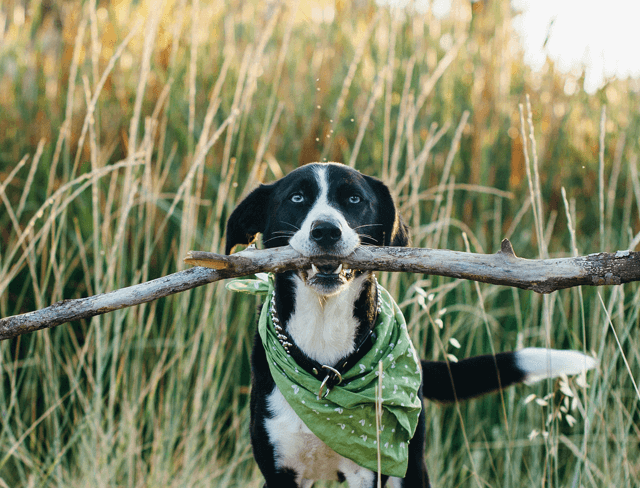 Black and white dog wearing a green bandana holding up a giant stick in his mouth