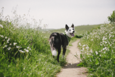 Border Collie wearing a green Earth Rated bandana inviting viewer to follow them into a field of flowers