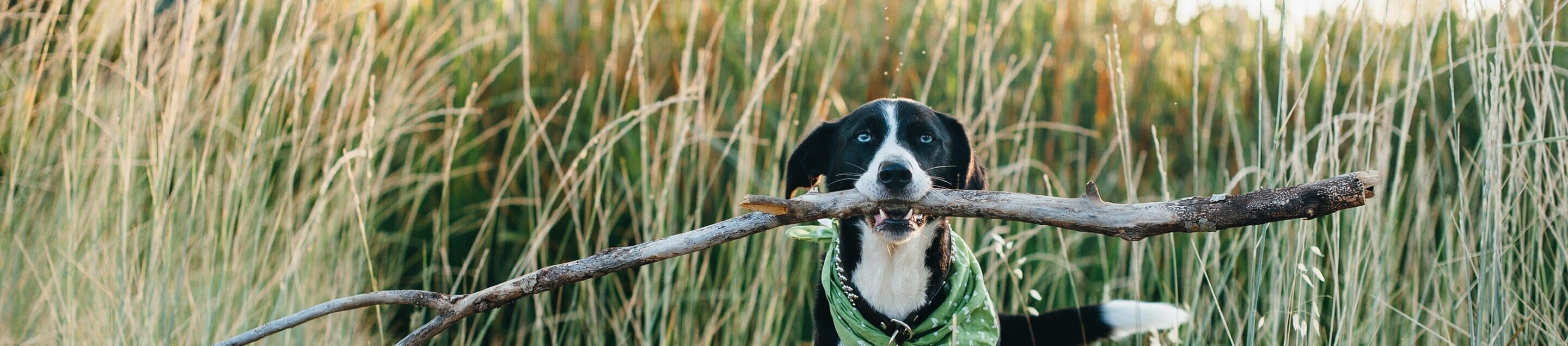 Black and white dog wearing a green bandana holding up a giant stick in his mouth class=